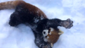 Panda_Plays_in_Snow_at_Cincinnati_Zoo
